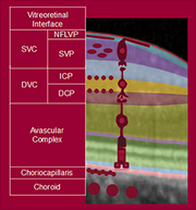 More detail within the individual vascular plexuses